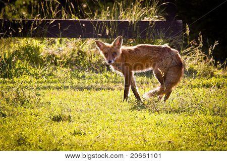 Old Fox Slopes Off Across Garden