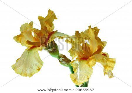 Two yellow iris bud