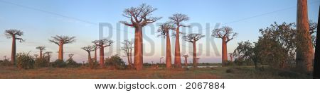 Baobabs Forest, Baobab Alley, Madagascar, Panoramique