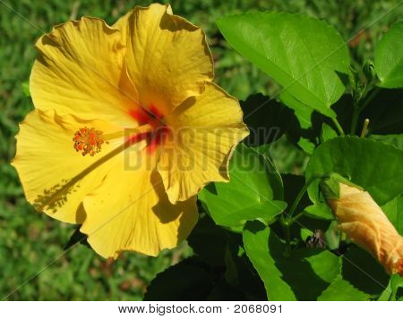 Bright Yellow Flower Of Hibiscus