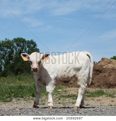 Mischievous Young Charolais Calf