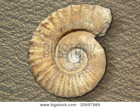 fossil spiral snail stone real ancient petrified shell over beach sand