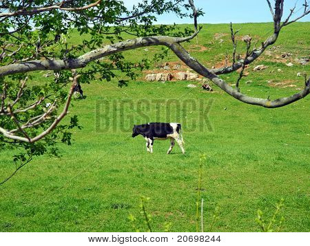 That One Lone Cow