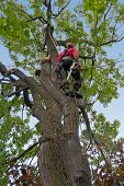 pic of arborist  - dead tree branches being cut by tree surgeon  - JPG