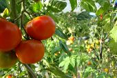 stock photo of tomato plant  - Tomatoes in garden crop vegetables on small farmer - JPG
