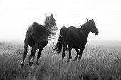 pic of running horse  - Wild horses on the plateau near Crystal Springs - JPG