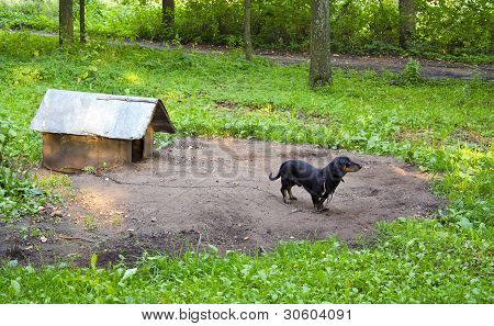 Dog Pet Dachshund Sausage-dog Chained Dog House