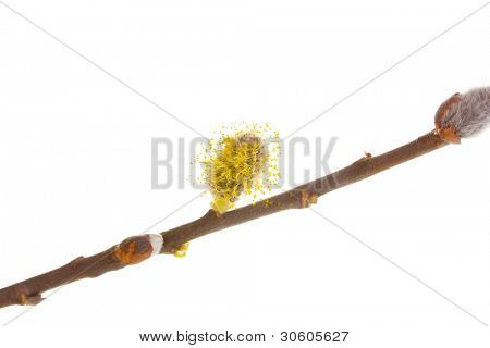 Pussy-willow twig isolated on white