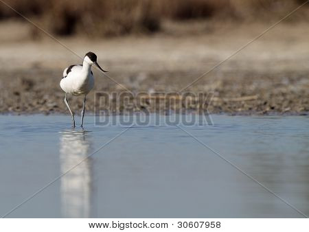 Common Avocet