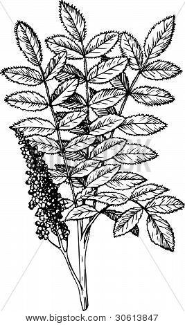 Plant Rhus (Staghorn Sumac)