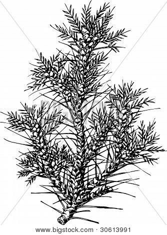 Planta tragacanto (Tragacantha)
