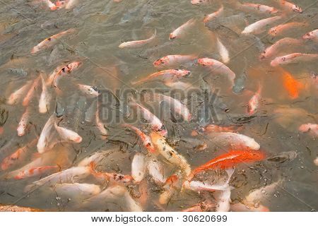 A School Of Colorful Koi Carps Surfaces In A Feeding Frenzy .