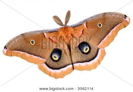 Polyphemus Moth On White