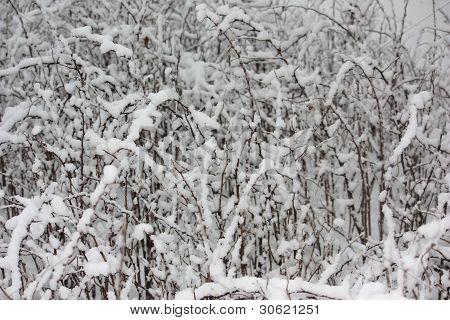 Snow-Covered Raspberry Bushes