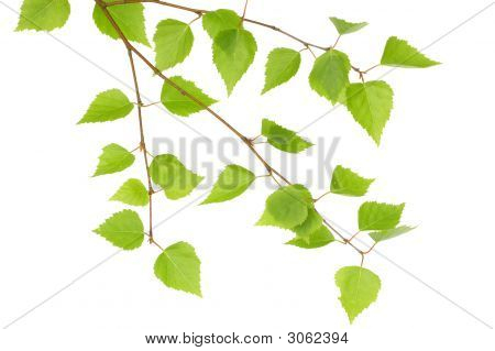 Branch Of A Birch