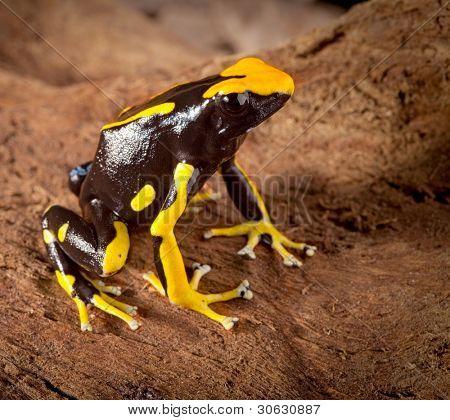 frog with bright orange spots Dendrobates tinctorius poison dart frog of amazon rainforest