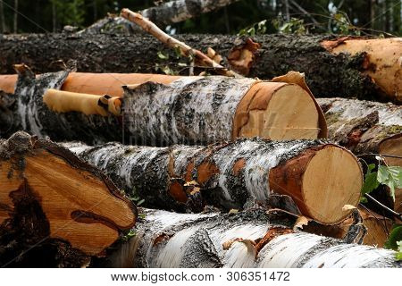 poster of Large Logs Thick Logs With Pieces Of Bark Piled Up A Bunch Of Cut Down Trees Background Trees Forest