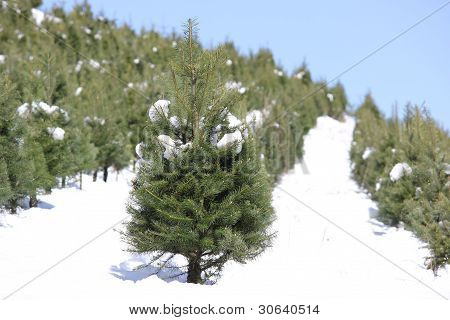 Oregon Tree Farm In The Snow