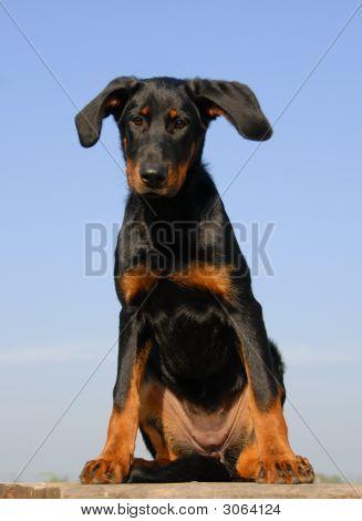 Puppy French Shepherd