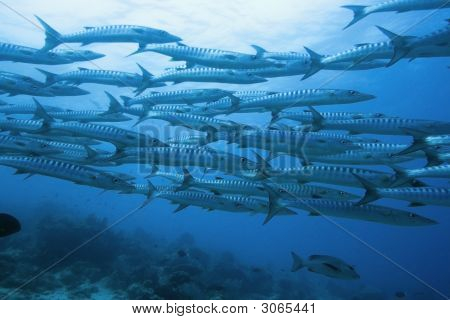 School Of Barracudas Underwater