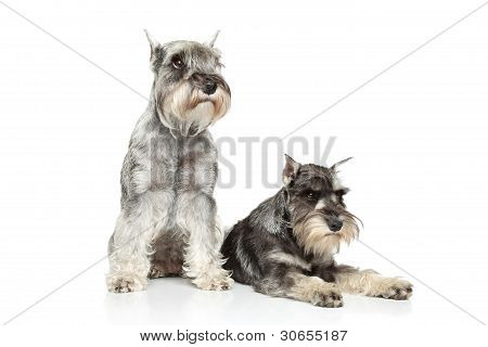 Two Miniature Schnauzer On White Background
