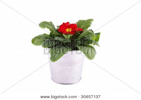 Red Primrose potted plant