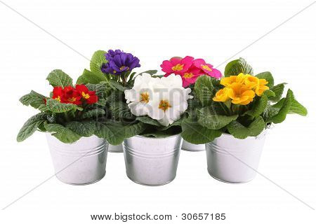 Many Primrose potted plants