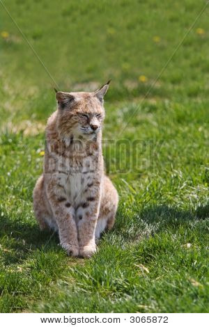 Canadian Lynx Enjoying The Sunshine