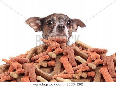Chihuahua y galletas de perro