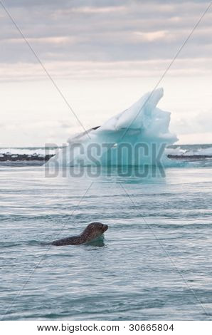 Seal Swimming In Glacier Lake