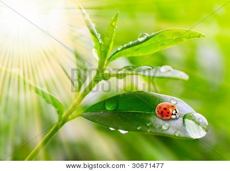 Tea tree (Thea sinensis). Little ladybug on the leaves of a green tea.
