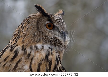 poster of The Long-eared Owl, Asio Otus, Also Known As The Northern Long-eared Owl, Is A Species Of Owl Which