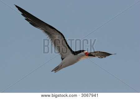 Black Skimmer (Rhynchops Niger) In Flight