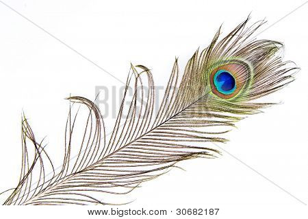 Detailed photo of a beautiful vivid peacock feather isolated on white
