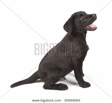 Black Labrador Retriever Puppy