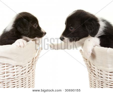 5 weeks old border collie puppies in a laundry basket