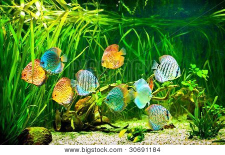 Symphysodon discus in an aquarium on a green background
