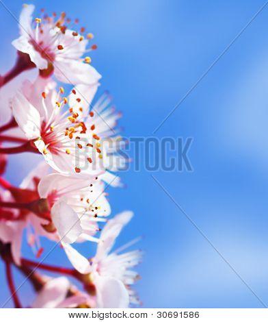 Cherry tree blossom flowers border over blue natural sky background, springtime