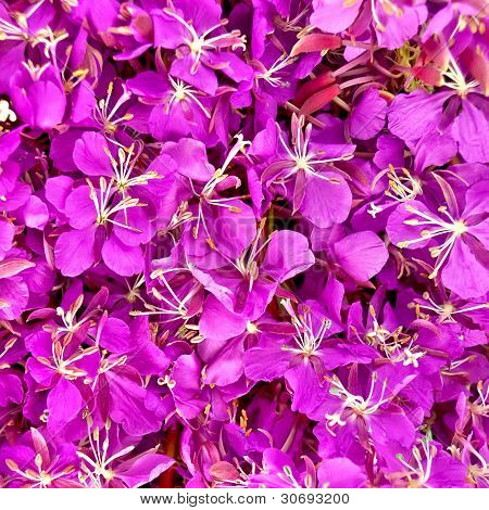 The Texture Of The Flowers Of Fireweed