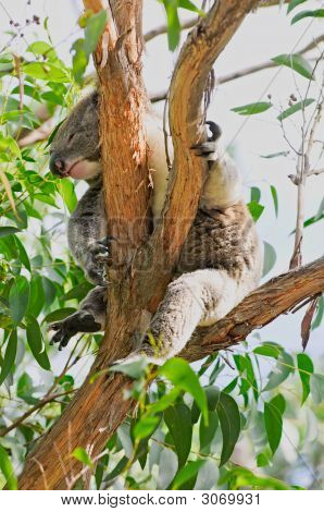 Resting Koala Bear In Eucalyptus Tree