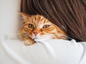 Cute Ginger Cat Is Peeping Over The Shoulder Of Its Owner. Fluffy Pet Is Sitting On Womans Hands And poster