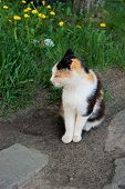 Three-colored White-black-red Stray Cat After Eating Sitting In The Summer Sun. Tricolor Cat In The  poster