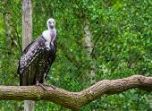 Ruppells Vulture Sitting On A Branch And Looking In The Camera, Critically Endangered Scavenger Bir poster