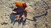 Brown Dry Maple Leaf In Sunlight Atop Textured Concrete Surface. Single Fall Leaf Closeup With Clear poster