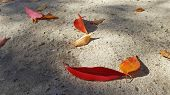 Bright Red And Orange Leaves On Grey Textured Concrete Floor. Fall Leaves In Sunlight Rays. Natural  poster