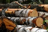 Large Logs Thick Logs With Pieces Of Bark Piled Up A Bunch Of Cut Down Trees Background Trees Forest poster