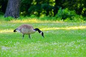 Canadian Goose Stinging Grass In A Green Meadow With White Flowers In A Sunny Day. poster
