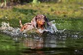 dog Playing in water, dachshund puppy dog swim in the river poster