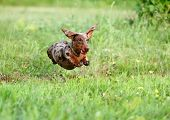 Dachshunds puppy are playing on the grass poster
