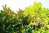 Mandarin tree with ripe fruits. Mandarin orange tree. Tangerine. Branch with fresh ripe tangerines a poster